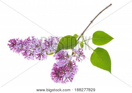 Lilac branch isolated on white background. Studio Photo