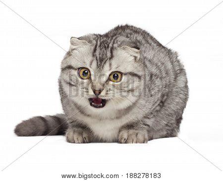 Scottish kitten hissing evil cat Isolated on white background.