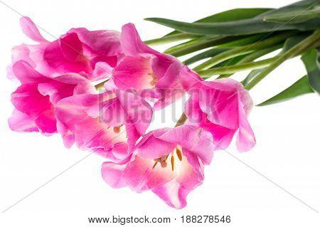 Pink tulips on white background. Studio Photo