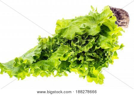 Fresh green leaf lettuce, grown in small plastic container. Studio Photo