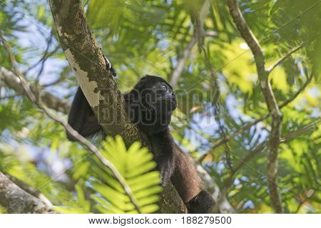 Howler Monkey in a Rain Forest Tree in Tortuguero National Park in Costa Rica