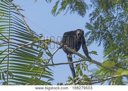 Male Howler Monkey howling in the Trees in Tortuguero National Park in Costa Rica
