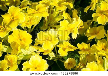 Background of yellow flowers primrose garden. Studio Photo
