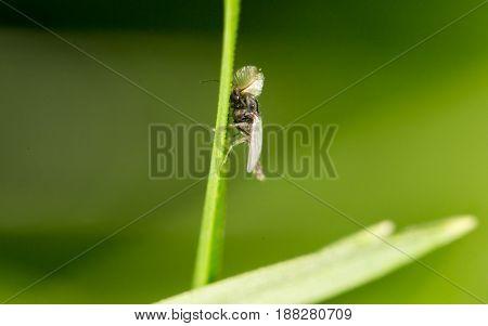 A Mosquito in nature. close . A photo