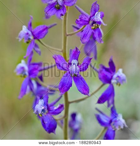 Delphinium or Monk Hood close up. Wildflowers of Cascade Mountains. Washington. Oregon. The United States.