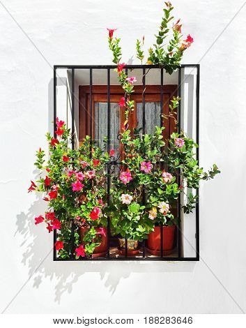 Blooming mallows decorating the window of a white house. Frigiliana Andalusia Spain.
