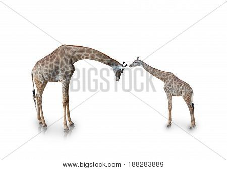 portrait of giraffe isolated on white background