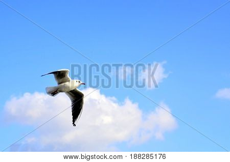 A seagull is flying in the air against a blue sky with clouds