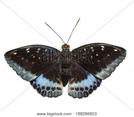Isolated dorsal view of male Common Archduke butterfly ( Lexias pardalis jadeitina ) on white with clipping path