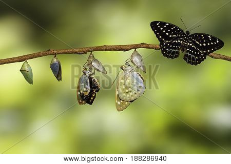 Transformation of Common Archduke butterfly emerging from chrysalis ( Lexias pardalis jadeitina ) hanging on twig