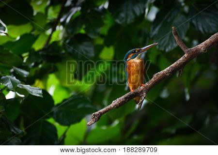 Wild female common kingfisher, also known as the Eurasian kingfisher or by its scientific name Alcedo atthis