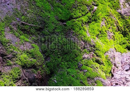 Natural green moss in rough stones in sunlight effect selective focus.