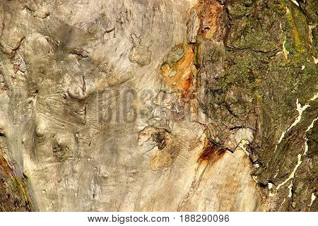 Texture of a part of an old tree trunk, the Main part without bark of gray color. On the right side of willows the left bottom corner there is a little bark.