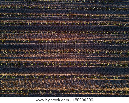 Top view of corn field furrows aerial view of cultivated maize crops from a drone pov