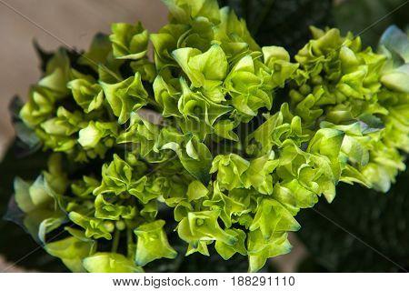 Hortensia green flowers closeup background. Floristry catalogue, nature, florist work, gift backdrop concept