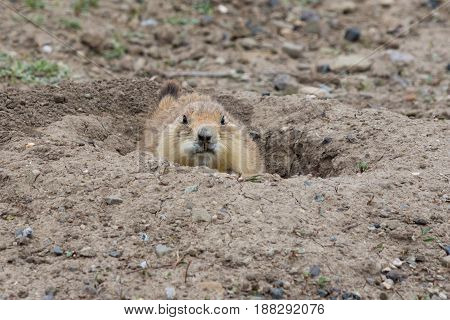 Close up of Black Tailed Prairie Dog in burrow with long yellowed incisors. Photographed in Prairie Dog Town Montana