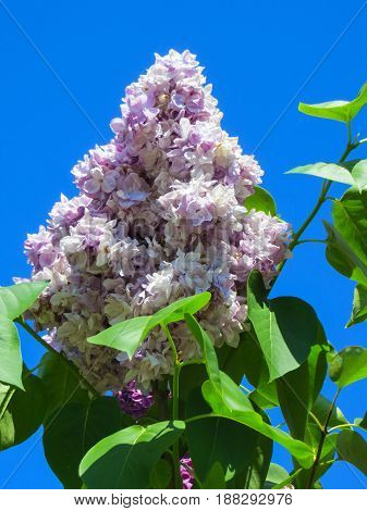 Bushes of blossoming lilacs in late spring