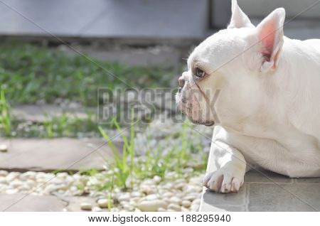 unaware French bulldog or lie French bulldog