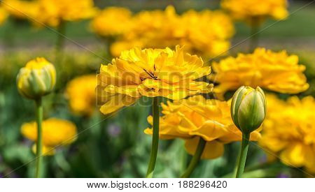 Terry Yellow Tulips On The Flowerbed