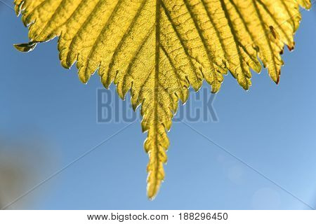 Spring macro elm leaves over blue sky