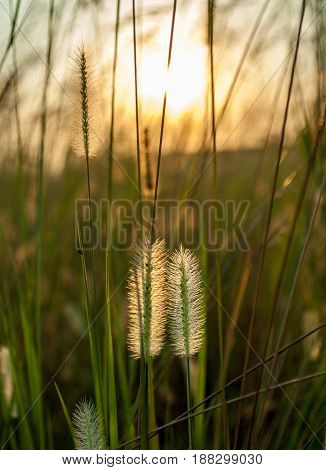 Close-up shots of reeds flower in the afternoon sunlight