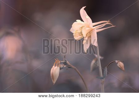 Beautiful flower aquilegia cream color on a gentle background.Selective soft focus.