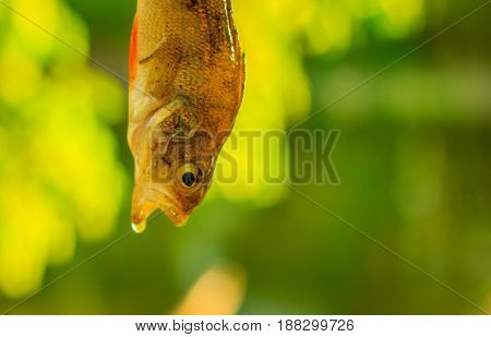 Perch on a blurred green background is a carnivorous fish with red fins a very beautiful drop of water drains from his lips