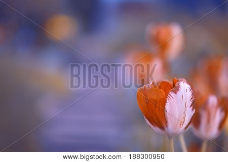 Bright tulips on beautiful background with space for text.