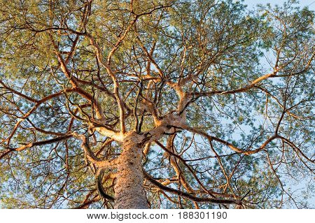 low angle view of inus sylvestris pine branches needles and trunk on blue sky background