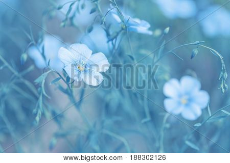 Delicate flowers of flax in the meadow. Soft selective focus.