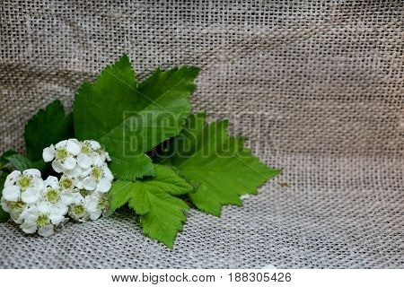Branch of flowering hawthorn on unpainted canvas