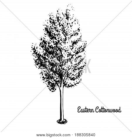 Vector sketch illustration of Necklace Poplar. Black silhouette of Eastern Cottonwood isolated on white background. Official state tree of Kansas and Nebraska.