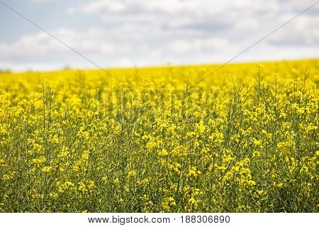 Yellow Flowering Field, Beautiful Countryside, Sunny Day