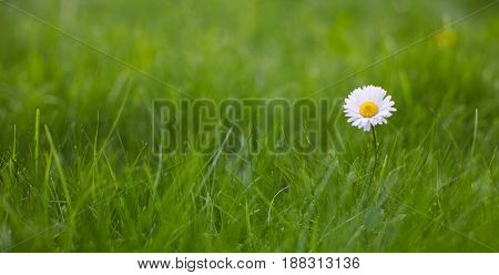 Beautiful Wide Screen Nature Summer Background. Single Daisy flower growing in green grass in the garden with selective focus. Panoramic Horizontal Wallpaper or Web Banner With Copy Space