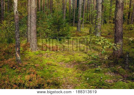 Beautiful Nature Landscape of Pine forest in summer. Wild mushrooms growing in the moss in the coniferous forest view inside of the forest. Colorful Horizontal Wallpaper