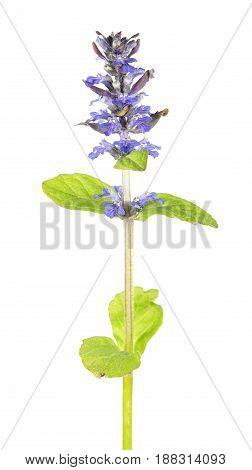 Blue bugle (Ajuga reptans) isolated on white background. Medicinal plant