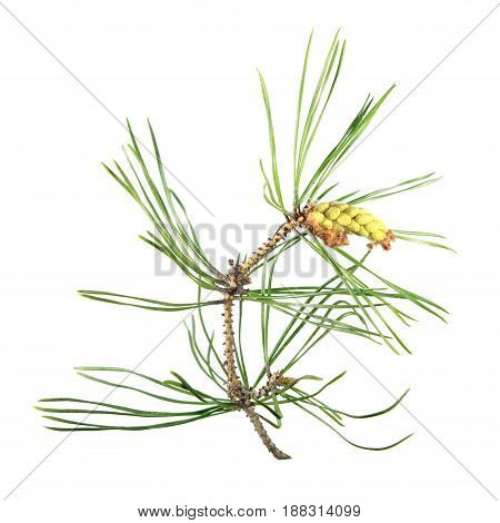 Branch of pine in the flowering period. Branch of pine with green needles and ripe pollen cones isolated on white background
