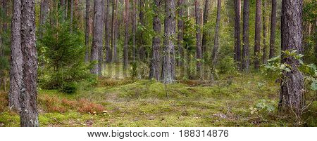 Panoramic scenic landscape of pine forests with selective focus. Beautiful Nature Wallpaper. Wild mushrooms growing in the moss in the coniferous forest. Wide Screen Web banner