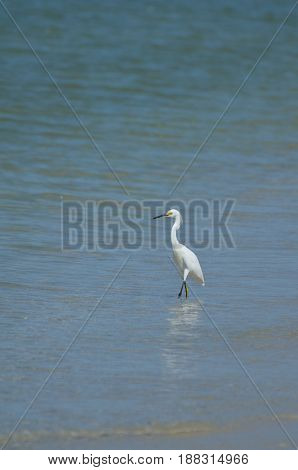 Great egret wading and fishing on the shore's edge.