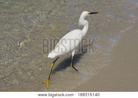 White egret walking along the ocean's edge.