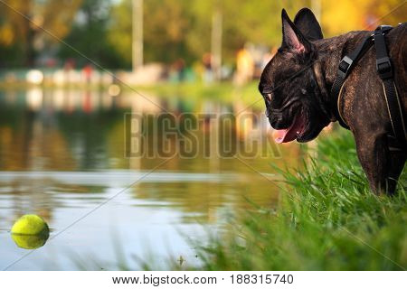 The dog looks at the ball in the water