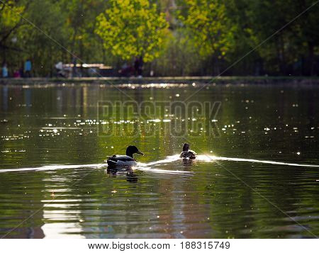 Ducks swim in the lake. Sunlight reflections on the water