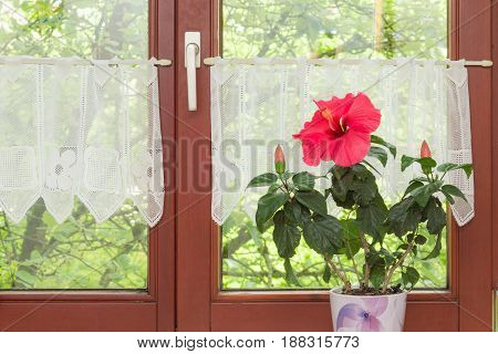 Beautiful Potted Red Hibiscus Flower On Window Sill