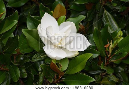 Magnolia bush with a flowering white magnolia blossom.