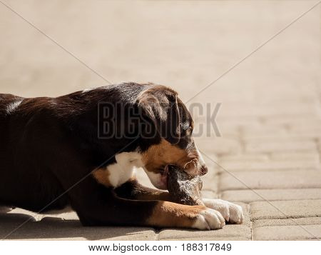 A cute Appenzeller puppy eats in peace