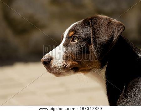 Head of an cute Appenzeller puppy outdoor