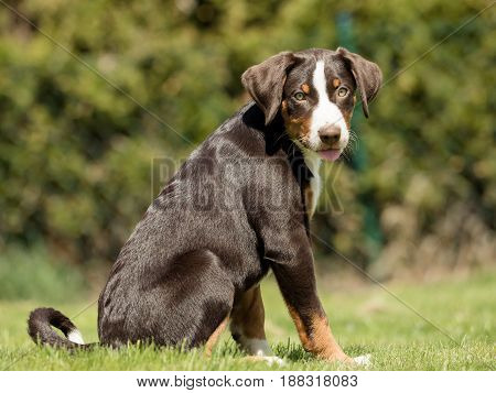 A cute Appenzell puppy sitting and waiting