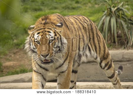 Tiger in a wildlife reserve in Italy
