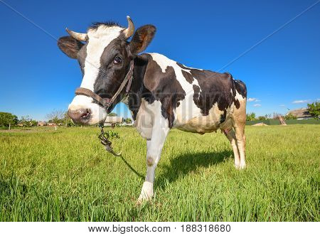 The portrait of cow on the background of green field. Beautiful funny cow on cow farm. Young black and white calf staring at the camera Curious, amusing cow with funny big snout and natural background