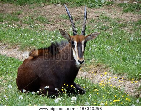 Sable antelope , ( Hippotragus niger ) ,